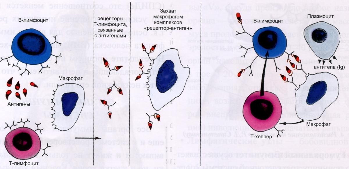 Причины наличия плазмоцитов