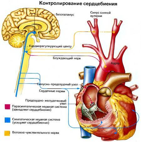 Синусовая тахикардия: что это такое, причины, симптомы, лечение, профилактика сердечного ритма