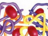 Когда сегментоядерные нейтрофилы понижаются