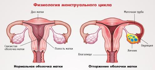 Откуда берется кровь при менструации
