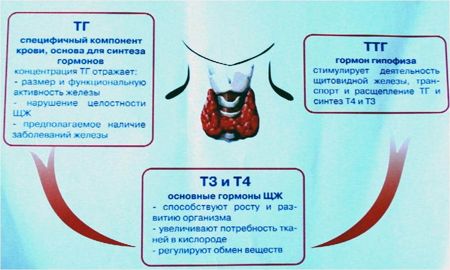 Аббревиатура гормонов