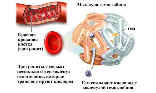 Функции гемоглобина