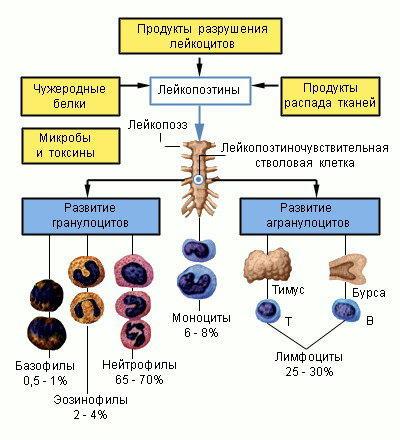 Почему происходит уменьшение лейкоцитов