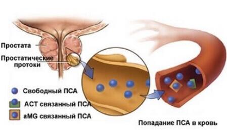 Молекулярные типы простатического антигена
