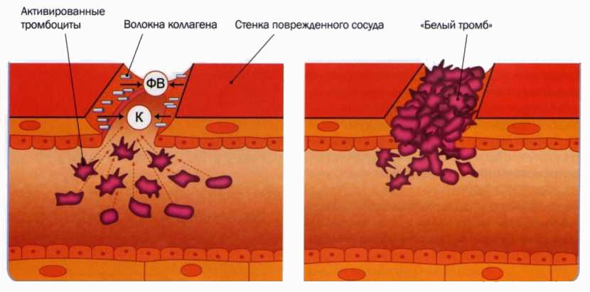 Общие представления о данном типе клеток