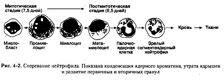 Функции нейтрофилов