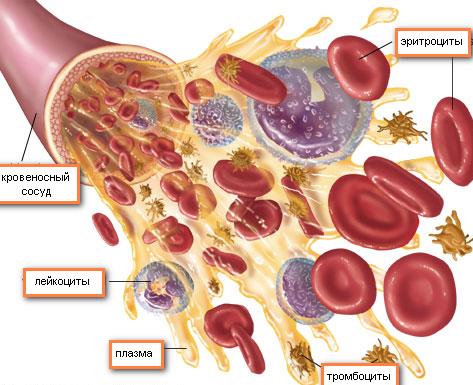 Что собой представляют красные клетки крови