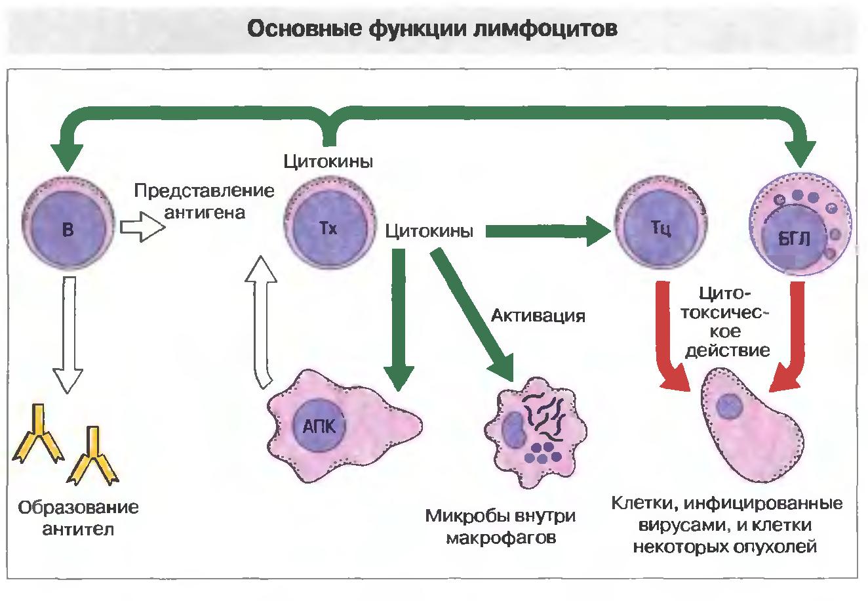 Повышение лимфоцитов
