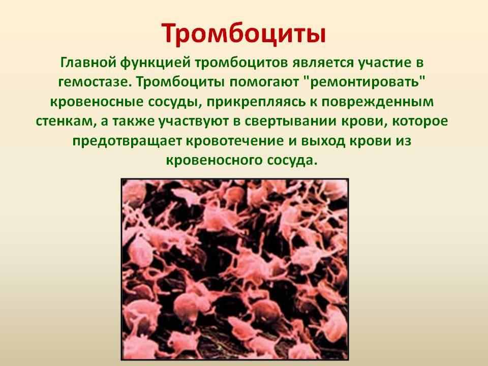 Роль тромбоцитов и их жизненный цикл