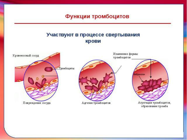 Как работают тромбоциты