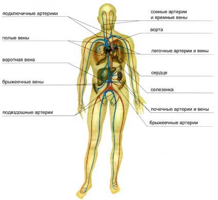 Какие органы относятся к паренхиматозным