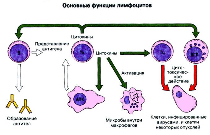 Функции клеток