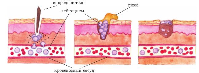 Роль лейкоцитов