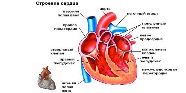 Работа камер сердца