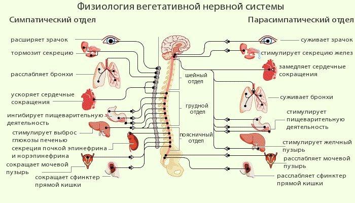 Как работает нервная система
