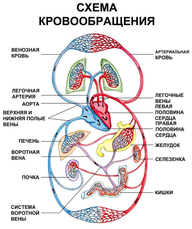 Схема кровообращения