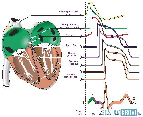 Биотоки сердца