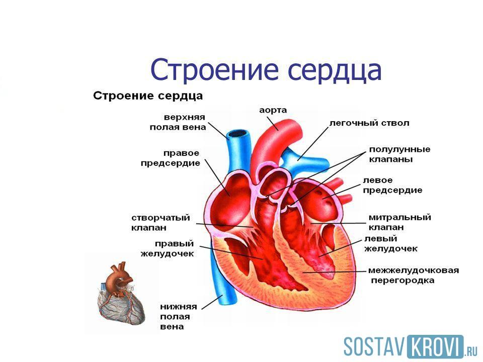 Отделы сердца